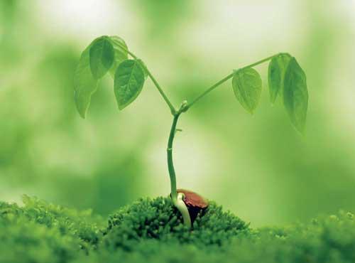 keimende Pflanze